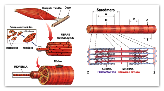 Detalhes das fibras musculares