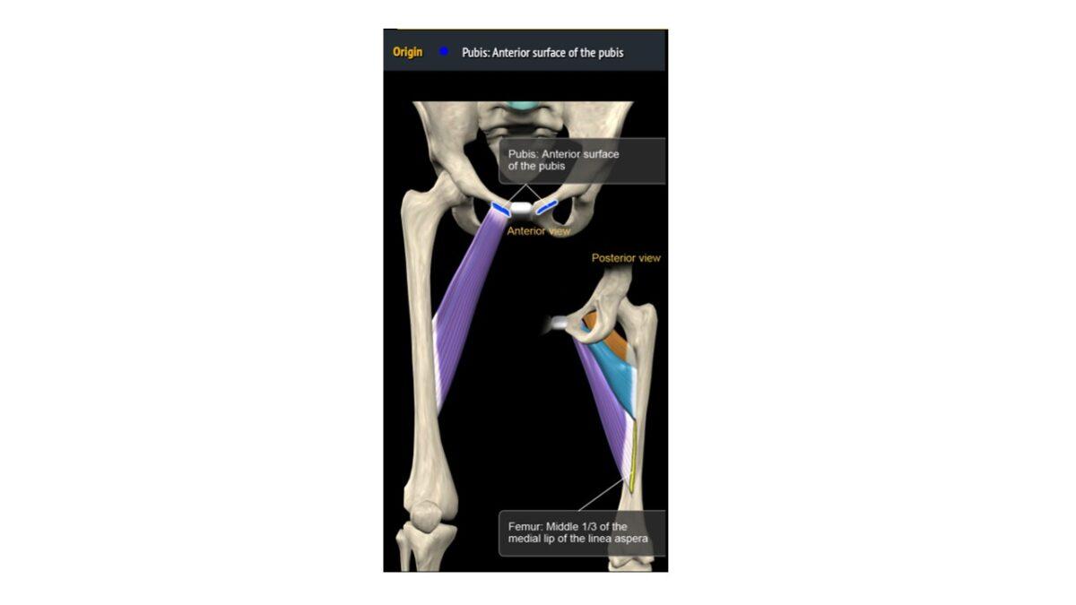 Treino_em_foco_adutores_da_coxa_anatomia
