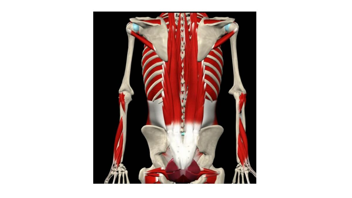Treino_em_foco_eretores_da_espinha_anatomia