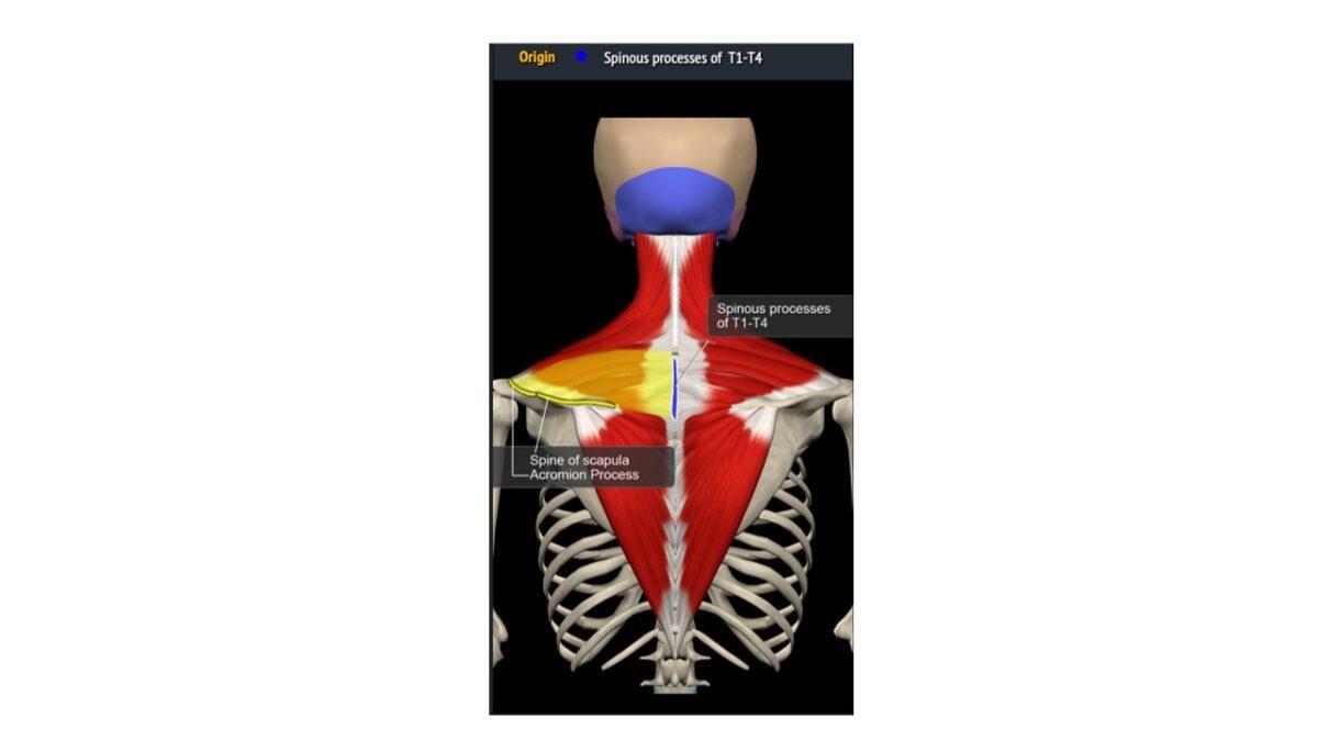 Treino_em_foco_romboides_anatomia_trapézio