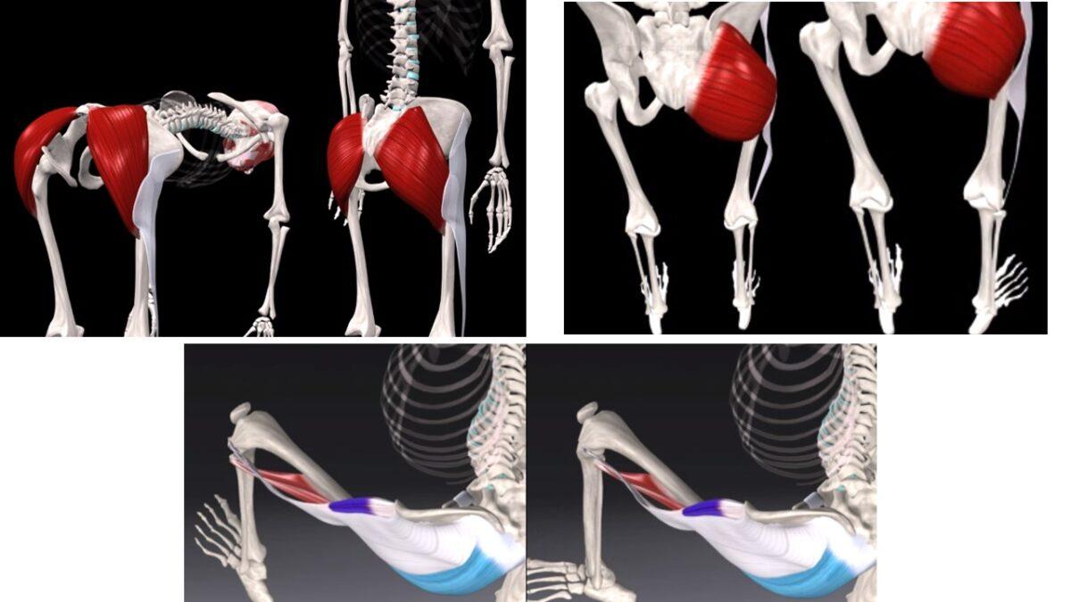 Treino_em_foco_glúteo_máximo_anatomia