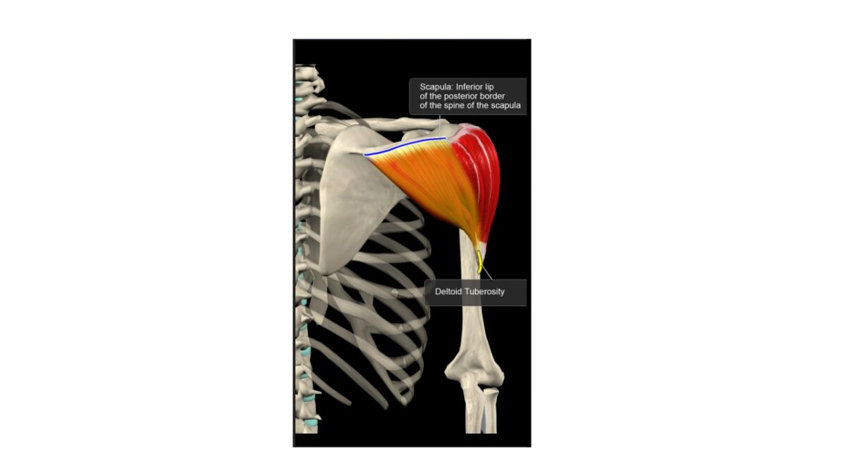 Treino_em_foco_anatomia_deltoide