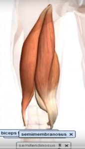 semitendinoso_isquiotibiais_músculo