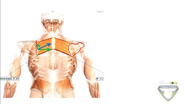 músculo_componentes_vetoriais_romboides