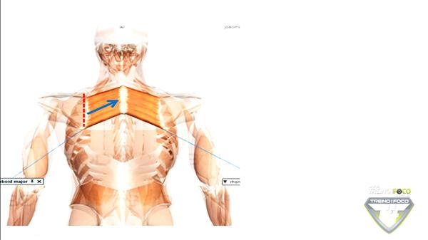 músculo_romboides_vetor_cineisologia