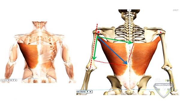 músculo_latíssimo_dorso_cinesiologia_grande_dorsal