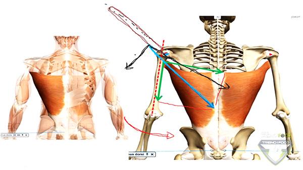 músculos_latíssimo_dorso_aánálise_cinesiologiaca_vetor