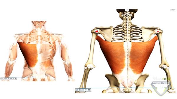 vetor_músculo_latíssimo_dorso_grande_dorsal