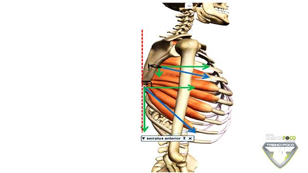 músculo_serratil_anterior_fibras_suepriores