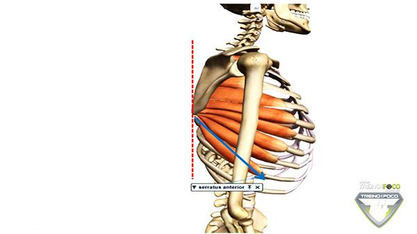 músculo_serratil_anterior_vetor