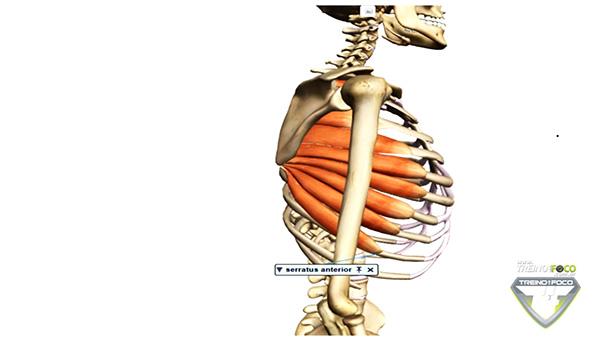 serratil_anterior_músculo_