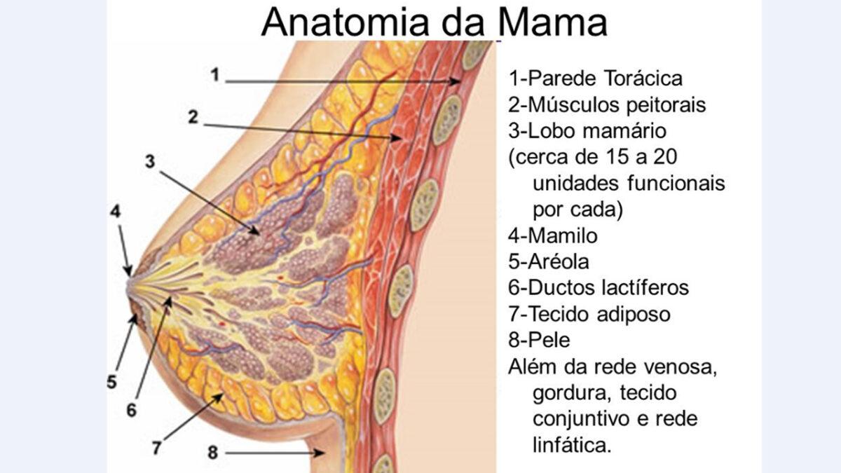 seio_anatomia_mama_treino_em_foco_exercicios_fisicos_tamanho_do_seio