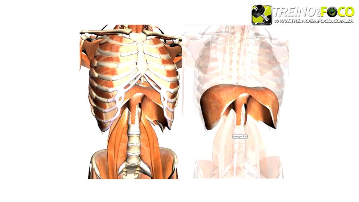 treino_em_foco_musculo_diafragma_inspiratorio