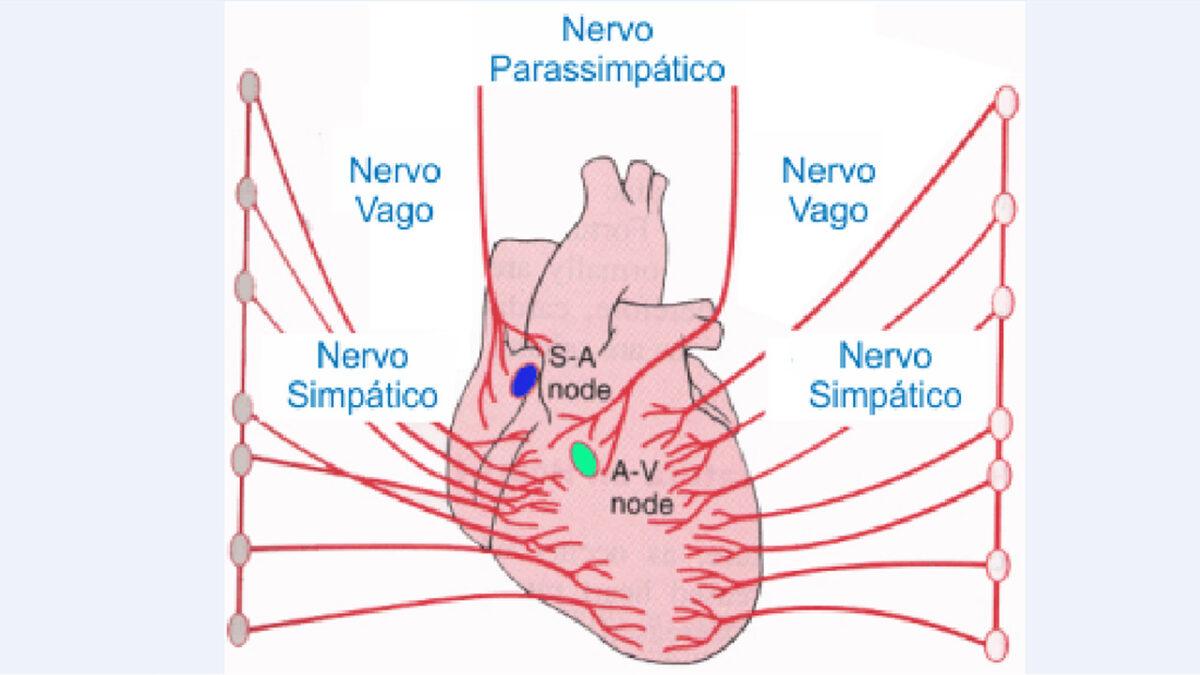 influxo_parassimatico_treino_em_foco_frequencia_cardiaca