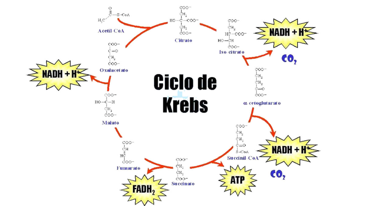 treino_em_foco_adaptacoes_bioquimicas_ciclio_de_krebs