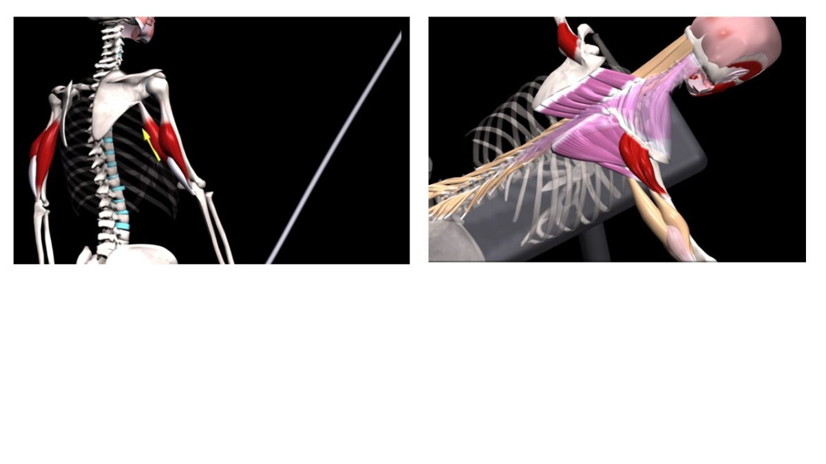 Treino_em_foco_anatomia_tríceps_braquial