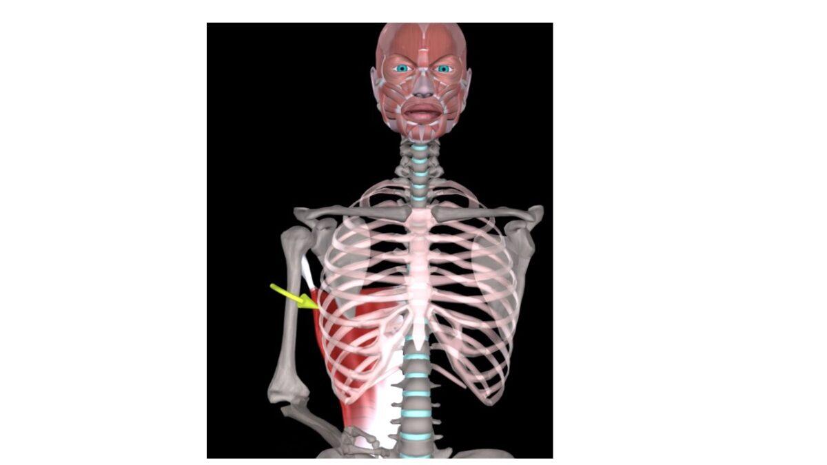 Treino_em_foco_anatomia_latissimo_do_dorso