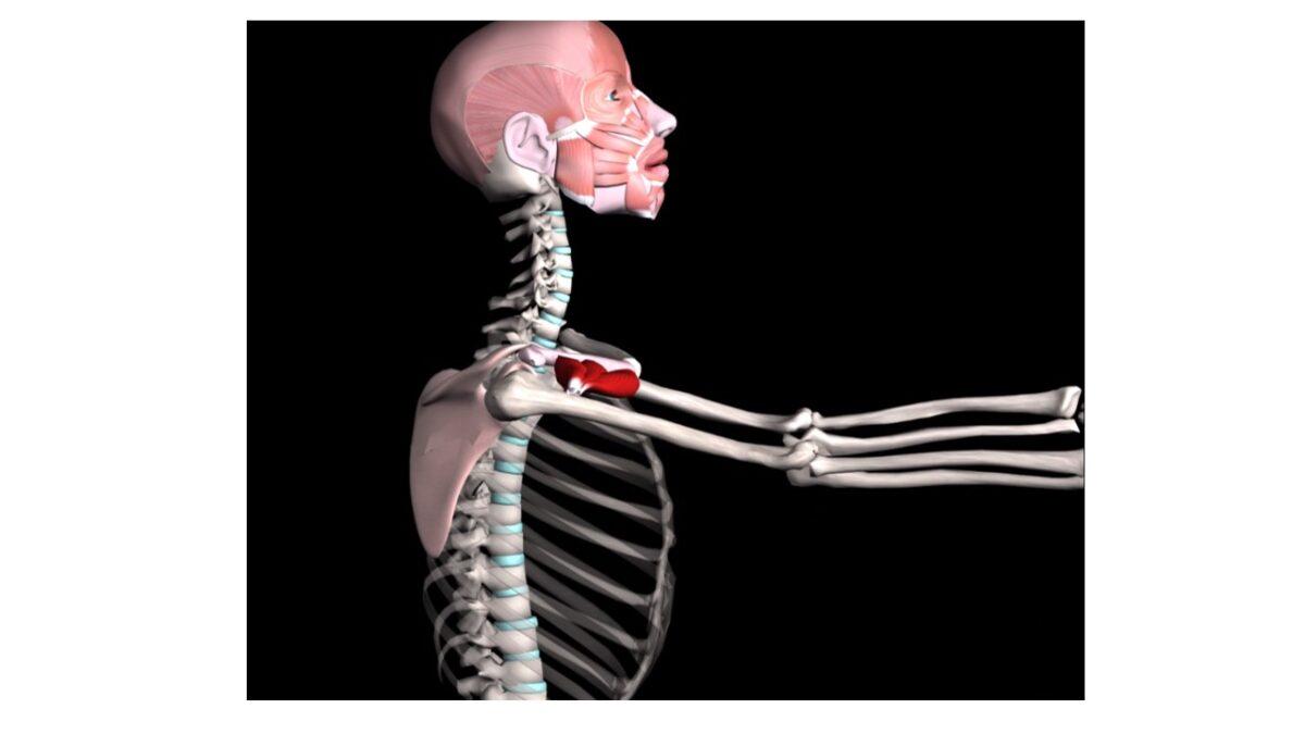 Treino_em_foco_anatomia_palpatória_peitoral_maior